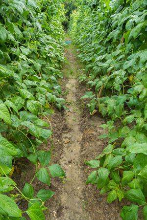 long bean: Yard long bean garden Stock Photo