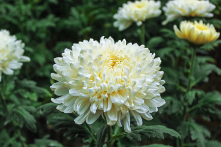 White Chrysanthemum flower photo