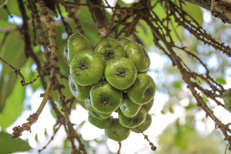 asian gardening: Fig on the tree