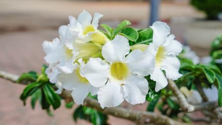 obesum: White Adenium obesum (Desert Rose, Impala Lily)