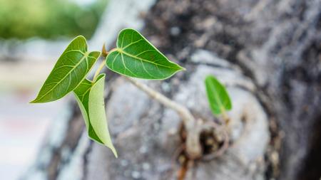 pipal: Religiosa Pipal Tree, Bohhi leaf, Bo Tree, Peepul, Ficus