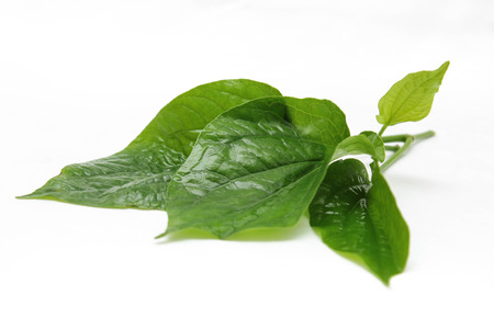 Wild Betel Leafbush photo