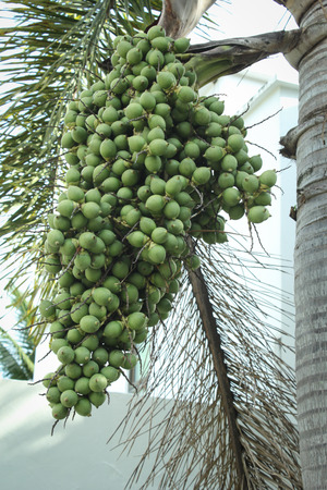 Green ripe arecanut palm, Betel nut palm or Betel nuts on tree Stock Photo