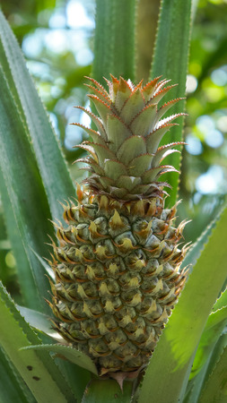 Pineapple Plant Field In Rubber Garden Stock Photo Picture And Royalty Free Image 68795448