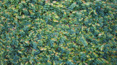 creeping fig: ivy background