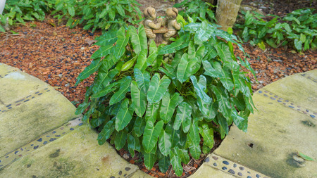 thick growth: Alocasia cucullata or Chinese Taro