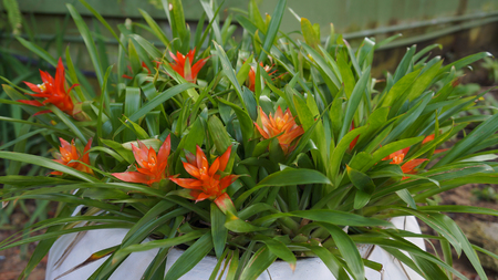 guzmania: bromeliad flower