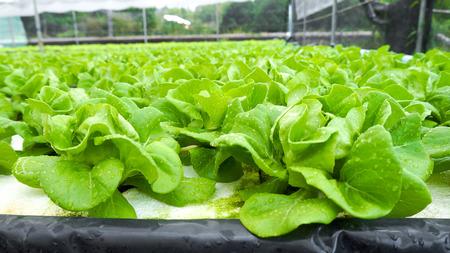 hydroponic: Hydroponic organic