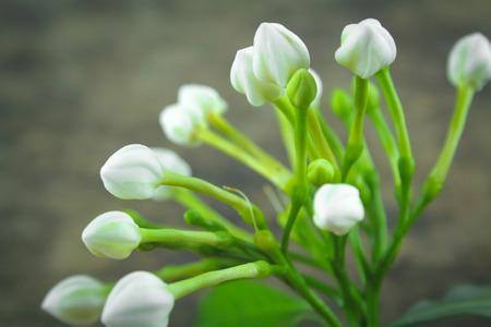 ephemeral: gardenia flower glass or Sampaguita Jasmine flowers Stock Photo