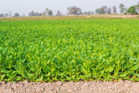 Cultivated tobacco in plantation. Its leaves commercially grown to be processes into tobacco industry Stock Photo
