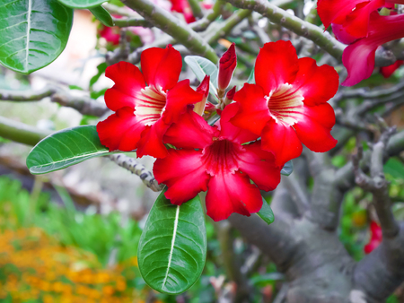 beatiful desert rose flower, Impala Lily, Mock Azalea