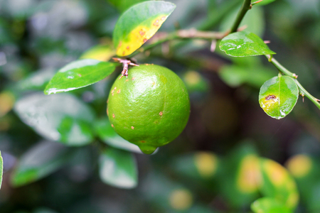 usefulness: fresh lime  with leaf hold on the tree Stock Photo