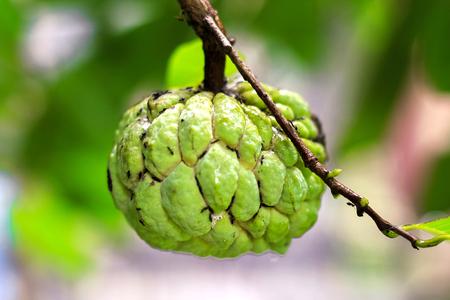 Sugar Apple (custard apple, Annona, sweetsop) on the tree