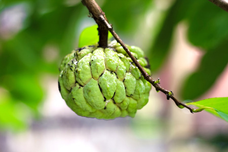 Sugar Apple (custard apple, Annona, sweetsop) on the tree