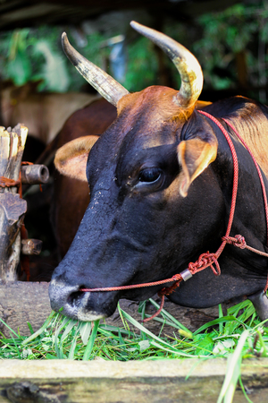 The black cow eating green grass in the stable Stock Photo