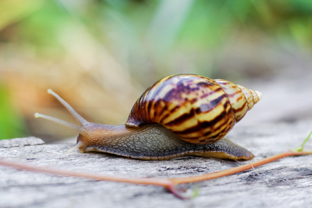 Snail on the wooden in the garden, morning time Stock Photo