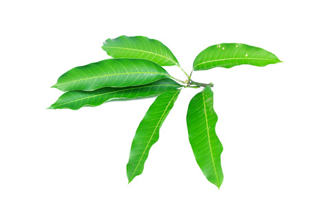 Fresh green mango leaf on white background 版權商用圖片 - 90788206