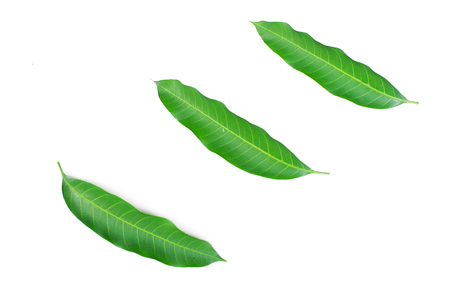 Fresh green mango leaf on white background