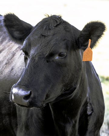 Angus cow head with red ear tag turned to the left Stock Photo