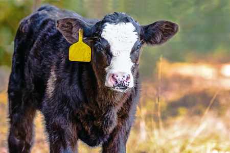 Black-baldy Angus crossbred calf with a yellow ear tag with blurred background and blank area to the right Stock Photo