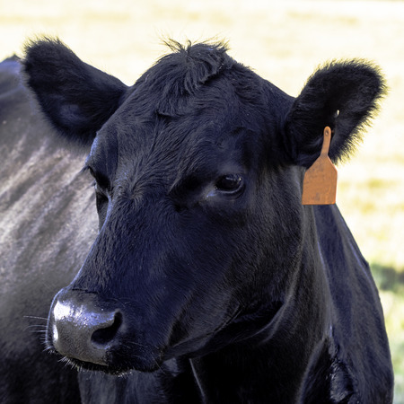 Close up of black Angus head Stock Photo