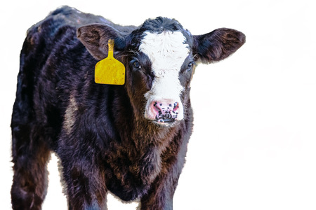 Black-baldy Angus crossbred calf with a yellow ear tag -isolated and blank area to the right