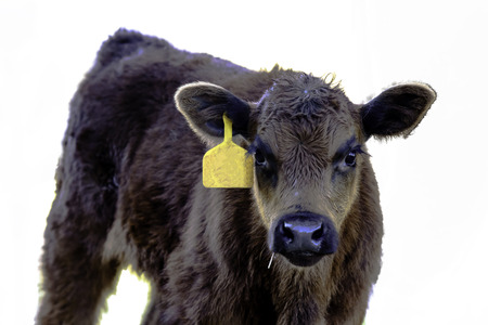 Angus crossbred calf with yellow ear tag from chest up - isolated Stock Photo
