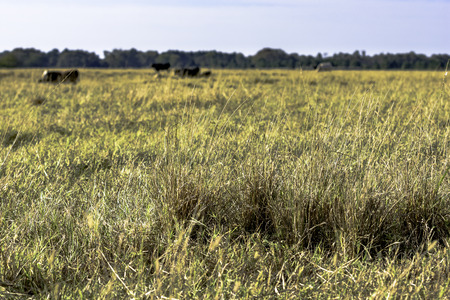 Close up of tufts of grass in a drought stricken pasture with cattle in the background