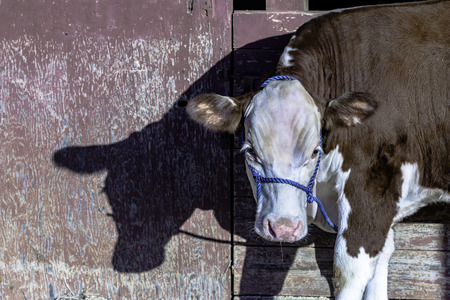 red heifer: Polled Hereford show heifer with a blue halter tied to a red weathered barn Stock Photo