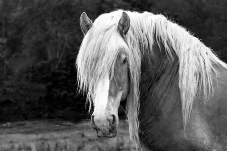 Black and white image of a draft horse gelding Reklamní fotografie