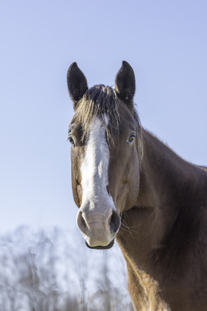 Brown horse with white blaze looking over a fence with blue sky background