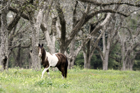 Brown & white paint mare walking in an old pecan grove