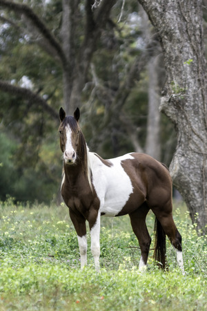 Brown and white paint mare looking at the camera in a pasture with pecan trees Reklamní fotografie