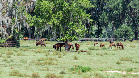 A group of horses on a southern pasture during the summer. The pasture contains live oaks and spanish moss.
