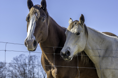 fenceline: looking up at a brown and white  horse and a white horse with blue sky background in rural Alabama.