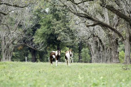 Two paint horses graze in an old pecan grove