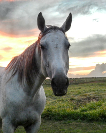 White horse head looking forward with sunset background Reklamní fotografie