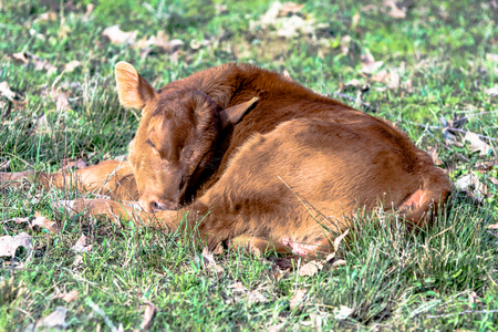 red heifer: Red commerical calf sleeping in a spring pasture