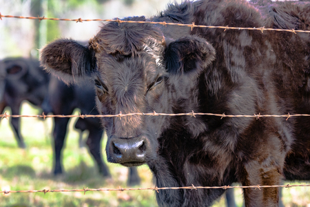 cull: Black heifer with rough winter coat looking through a barbed wire fence