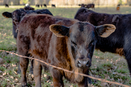 wire fence: Angus crossbred calves behind a barbed wire fence in an early spring pasture