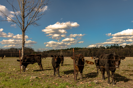 A group of black Angus calves standing along a fenceline in an early spring pasture