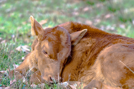 red heifer: Close up of a red calf sleeping in the grass Stock Photo