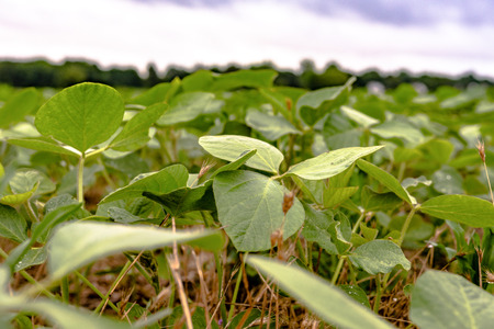 Ground view of young soybean plants in a no-til field Stock Photo