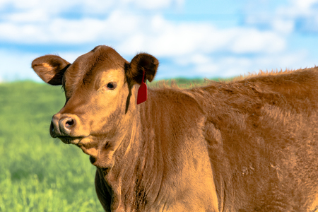 red heifer: Close up of a red Gelbvieh heifer with blue sky and green pasture background