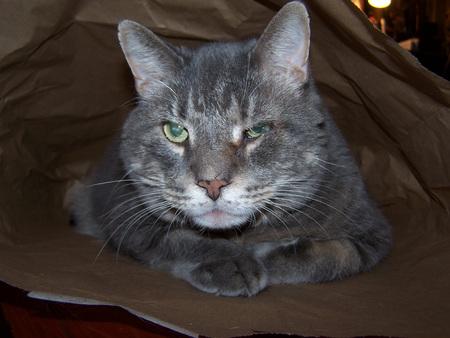 Gray Cat In Bag
