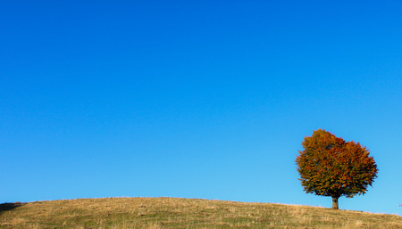 Tree with a round colored crown at the fall season in a blue clear sky