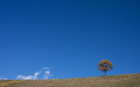 Tree alone, dry golden foliage, against a clear blue sky