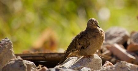 feathe: a comlumbina talpacoti standing on some rocks Stock Photo