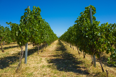 fineart: Wine Yard Croatia