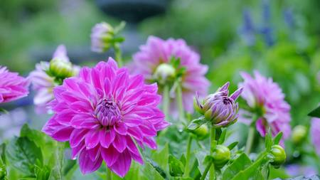 Most dahlias in the garden among green leaves